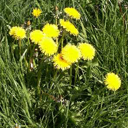 A lawn care weed gallery to aid weed recognition a common grassland weed not as widespread in lawns as the greater plantain most flowers develop in june and july and seeds develop 2 weeks after mightylinksfo